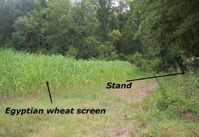 egyptian-wheat-screen